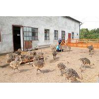 Pollos de avestruz saludables y huevos de avestruz fértiles para la venta