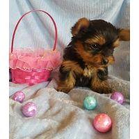Cachorros de la raza yorkshire terrier toy