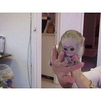 Regalo mono Capuchino en adopcion