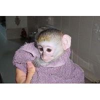 REGALO mono capuchino para Adopción