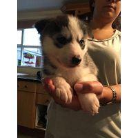 Husky siberiano para la venta