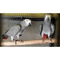 Par de loros grises africanos congo para adopción