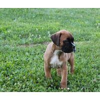 Cachorros boxer Whatsapp +442030957209