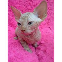 Gatitos Sphynx saludables para adopción