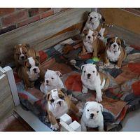 Dulce bulldog inglés cachorro 2 hembra y 3 macho