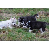Regalo hermoso cachorros de husky siberianos