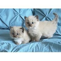 Gatitos Ragdoll Para Adopción
