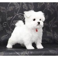 REGALO Bichon Maltes Mini Toy Para Adopcion XX