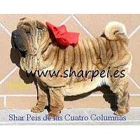 impresionantes cachorros de shar pei