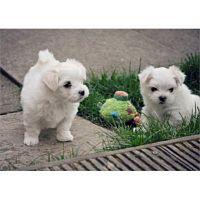 Perritos malteses bien entrenados de la taza de té para la adopción